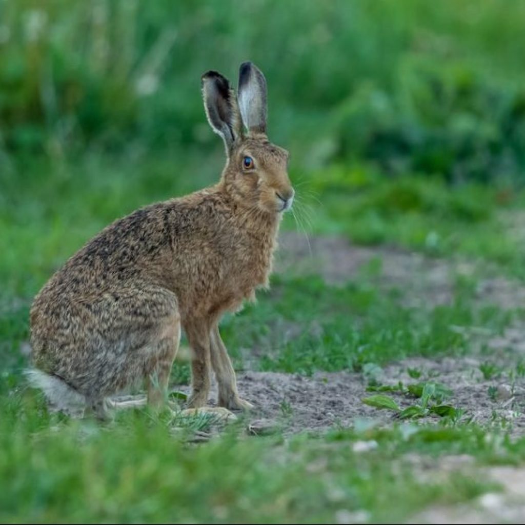 Hare coursing survey